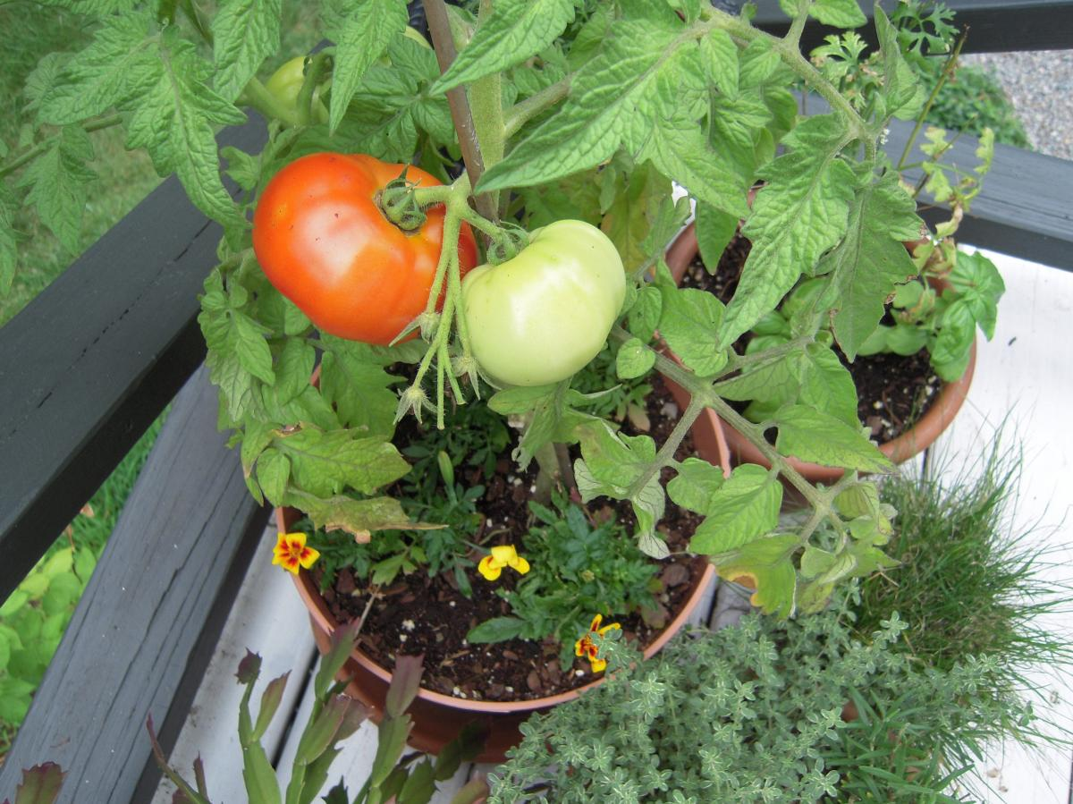 Tomato on pots for small kitchen garden home inspiring for Small kitchen garden